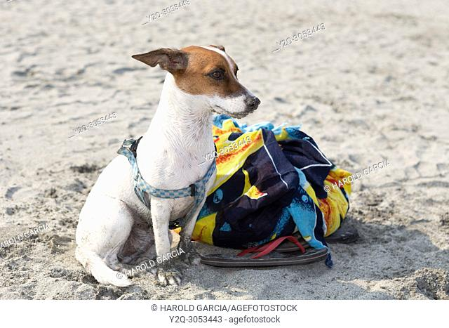 Dog taking care of his master's belongings on the beaches of Santa Marta, Colombia