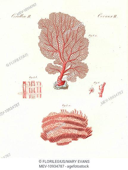 Venus sea fan and organ pipe coral. Venus sea fan, Gorgonia flabellum, and organ pipe coral, Tubipora musica. Handcolored copperplate engraving from Friedrich...