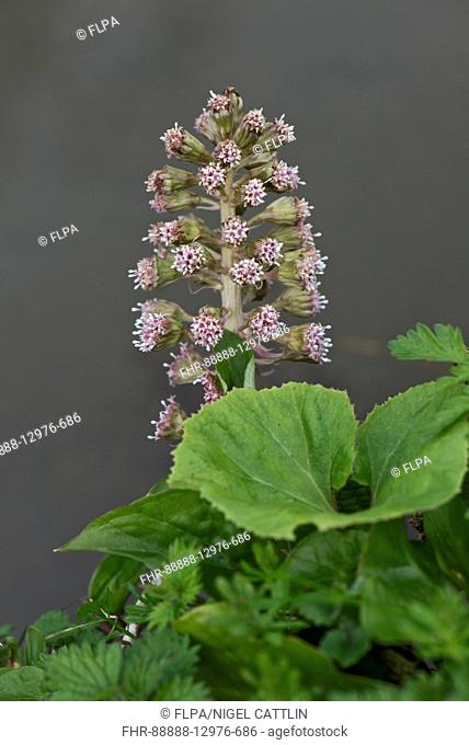 Butterbur, Petasites hybridus, flowering on the banks of the Kennet and Avon Canal, April