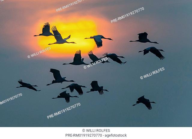 Common cranes, Grus grus, Mecklenburg-Vorpommern, Germany / Kraniche, Grus grus, Mecklenburg-Vorpommern, Deutschland