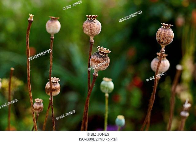 Poppy seed pods, close-up, Cork, Ireland