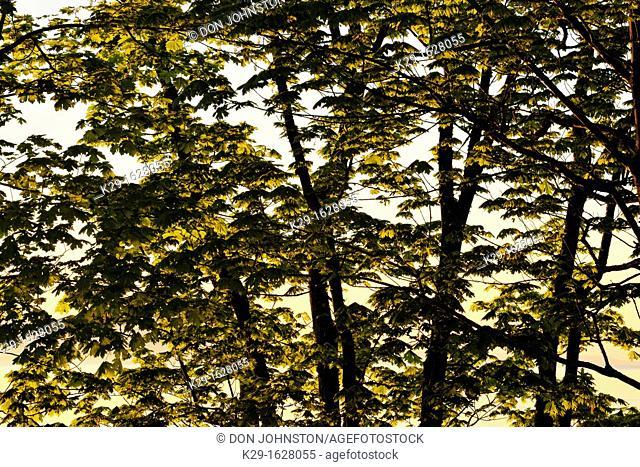 Bigleaf maple Acer macrophyllum Emerging leaves overlooking Cordova Bay, Victoria, BC, Canada