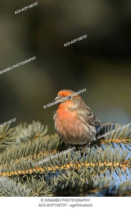 House Finch, Carpodacus mexicanus, on evergreen branch, Saskatchewan, Canada