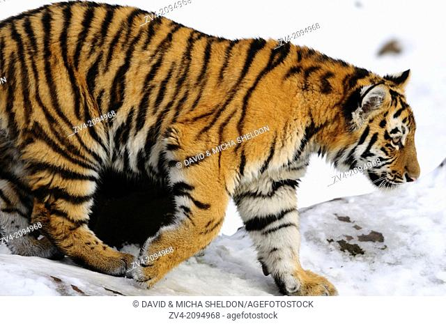 Close-up of a Siberian tiger or Amur tiger (Panthera tigris altaica) cub in winter
