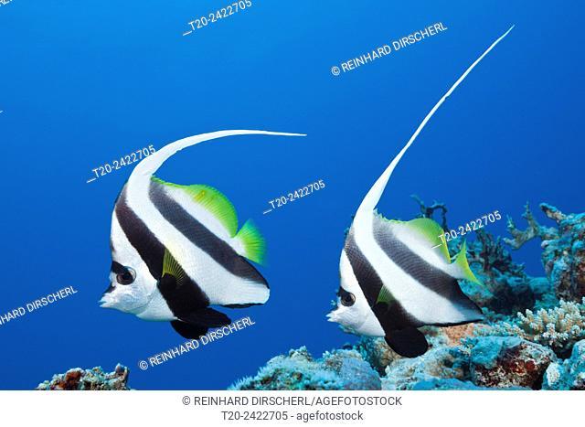 Pair of Longfin Bannerfish, Heniochus acuminatus, Great Barrier Reef, Australia