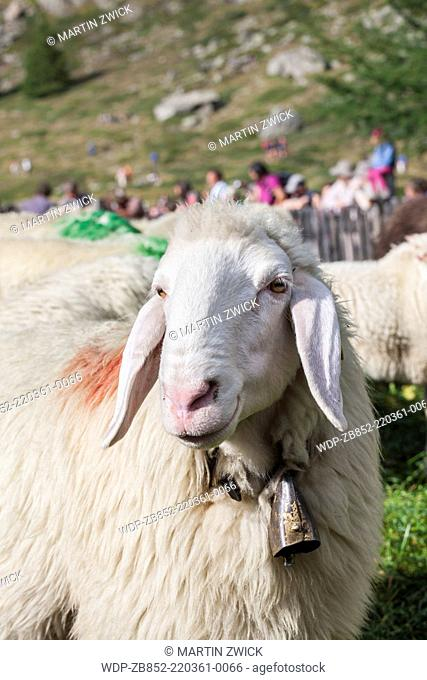 Transhumance - the great sheep trek across the main alpine crest in the Otztal Alps between South Tyrol, Italy, and North Tyrol, Austria