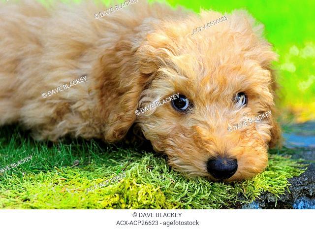 11 week old miniature Australian Labradoodle puppy