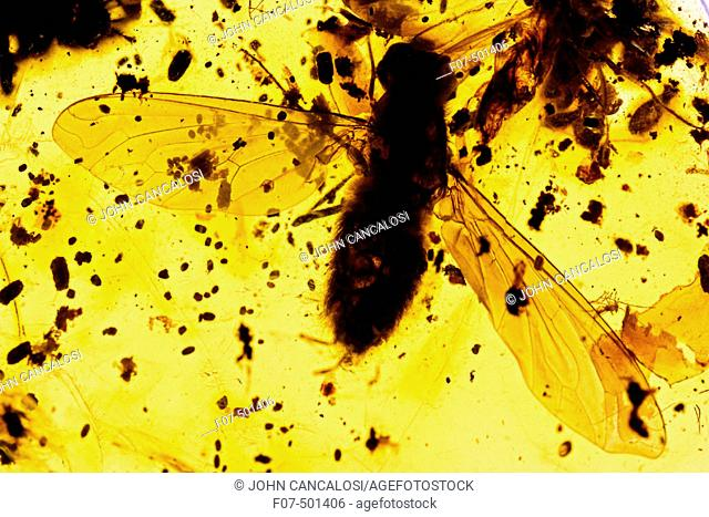 Fossil fly in Amber - Dominican Republlic - 15-40 million years old - oligocene and miocene - amber is hardened tree resin which preserves organisms trapped...