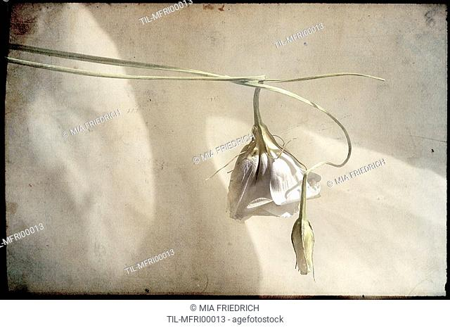 A white flower and bud