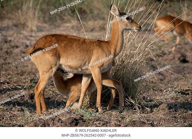 Puku (Kobus vardonii) baby nursing in South Luangwa National Park in eastern Zambia