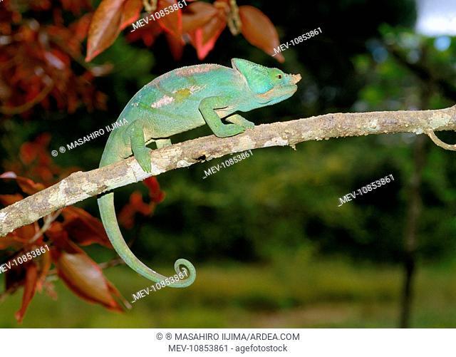 Parson's Chameleon (Calumma parsonii). Madagascar