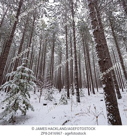Snow covered pine trees in a conservation area in East Gwillimbury, Ontario, Canada