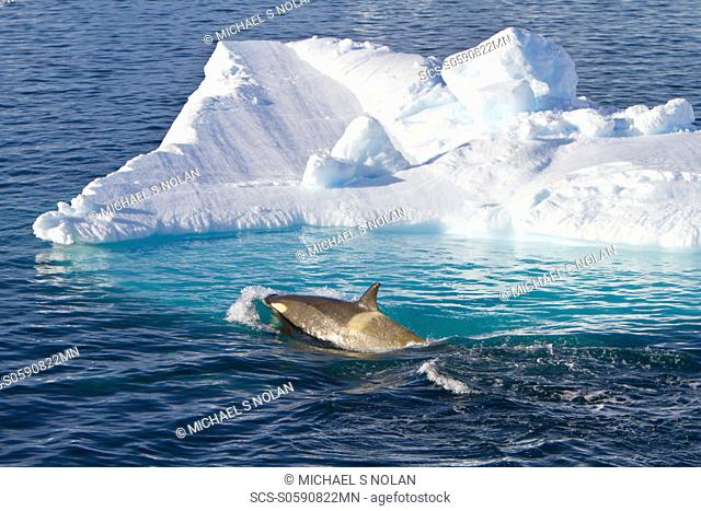 A large pod of 25 to 45 Type B killer whales Orcinus nanus in Paradise Bay at 64ø 48 6S 63ø 02 6W, Antarctica, Southern Ocean MORE INFO These animals are also...