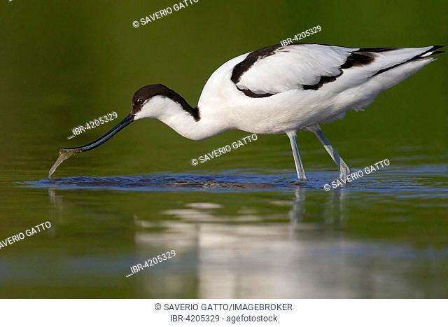 Pied Avocet (Recurvirostra avosetta), adult feeding, Campania, Italy