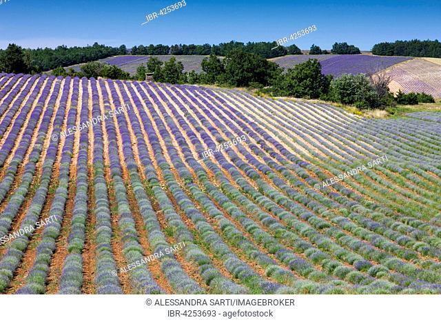 Lavender fields (Lavandula angustifolia) on the Plateau d'Albion, Vaucluse, Provence, France