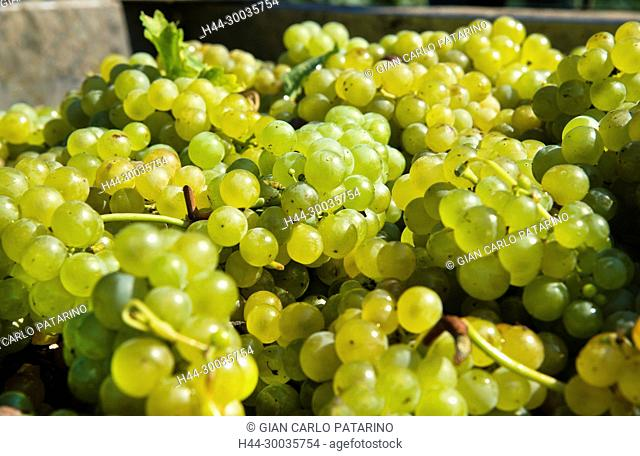 Italy, panorama of vineyards of Piedmont Langhe-Roero and Monferrato on the World Heritage List UNESCO. Bunches of Moscato d'Asti Italy, Piedmont, Vineyards