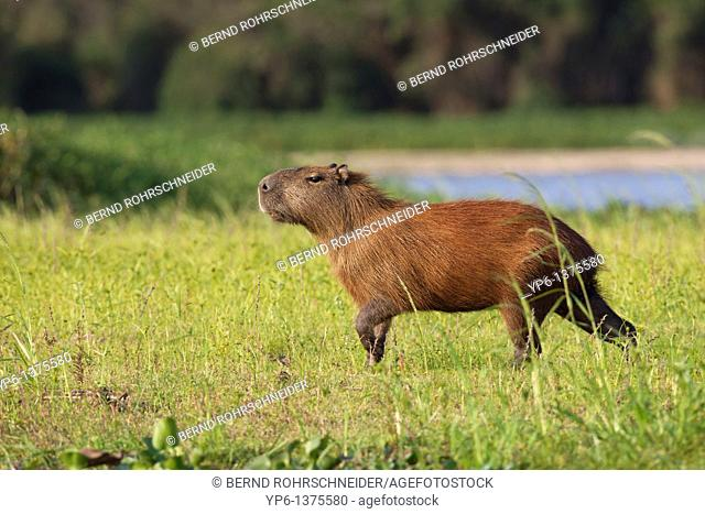 Capybara Hydrochoerus hydrochaeris in evening light, Pantanal, Brazil