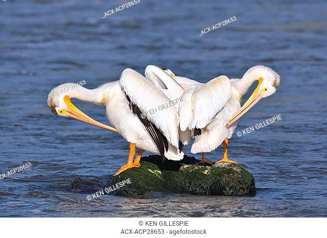 American White Pelicans preening on a rock. Red River, Lockport, Manitoba, Canada