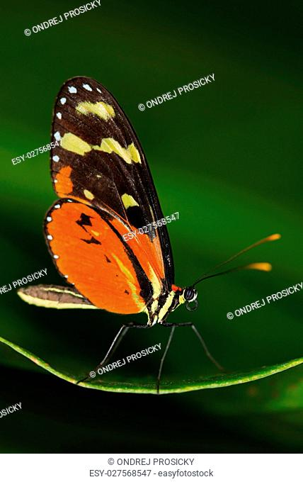 Butterfly Heliconius Hacale zuleikas, in nature habitat