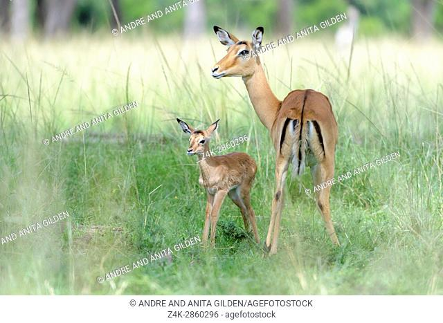 Impala (Aepyceros melampus) mother and new born infant, baby, Maasai Mara Nationa Reserve, Kenya