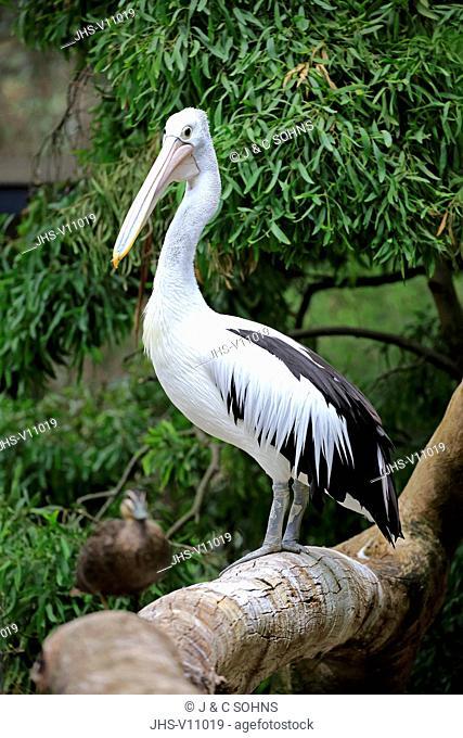 Australian Pelican, (Pelecanus conspicillatus), adult, Kangaroo Island, South Australia, Australia