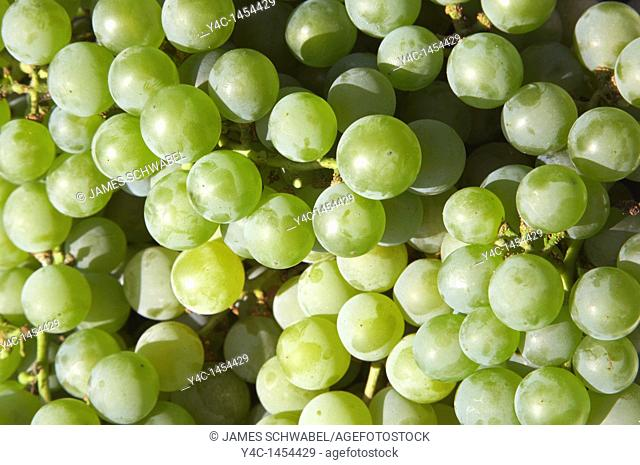 Niagara grapes of the Finger Lakes region of New York State in September 2006