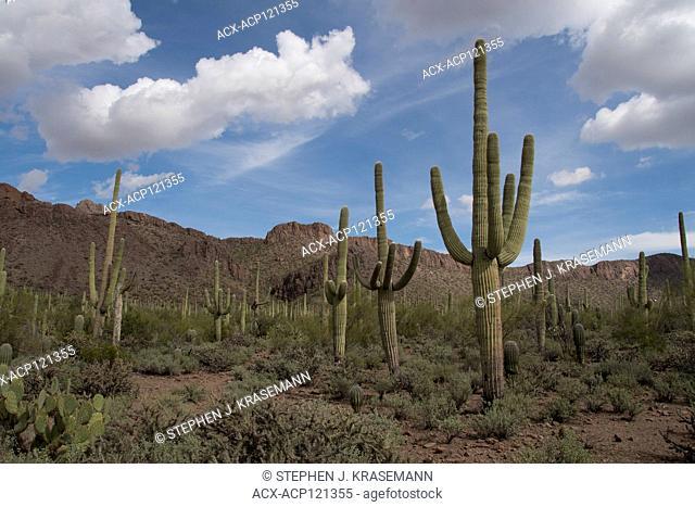 Saguaro Cactus (Carnegiea gigantea) in Sonoran Desert in Saguaro National Park, Tucson, AZ