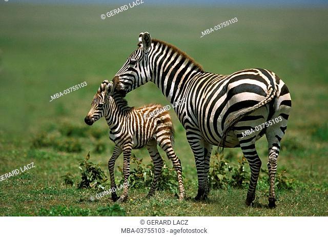 Burchell's Zebra, equus burchelli, Mother and Foal, Masai Mara Park in Kenya