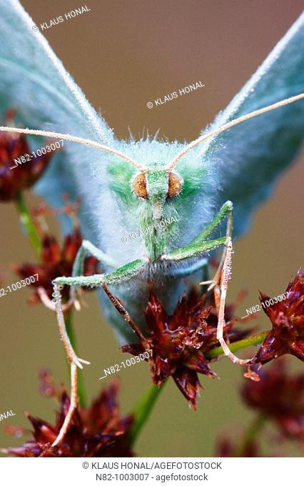 Close up of Large Emerald butterfly Geometra papilionaria in dew - Bavaria / Germany