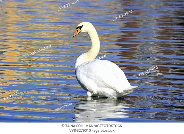 Mute Swan, Cygnus olor near seashore with colorful reflections on the surface of water