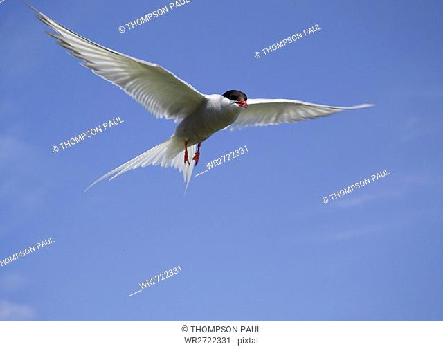 90900328, Arctic Tern in flight, Inner Farne, Farn