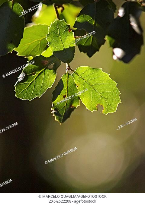 Holm Oak (Quercus ilex) backlit leaves. Winter at Montseny Natural Park. Barcelona province, Catalonia, Spain