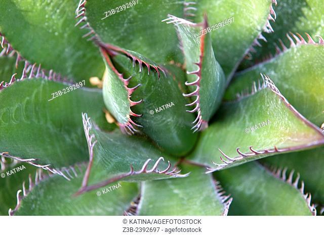 Close-up view of Agave shawii, Shaw's agave at the Santa Barbara Botanic Garden, Santa Barbara, California, USA