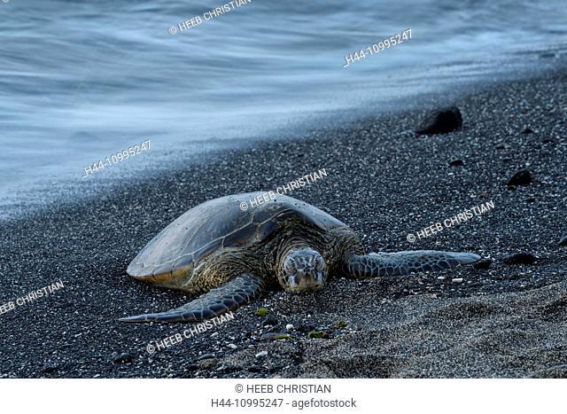 USA, Vereinigte Staaten, Amerika, Hawaii, Big Island, Kona, Kaloko-Honokohau National historic park, sea turtle, turtle, animal, on beach