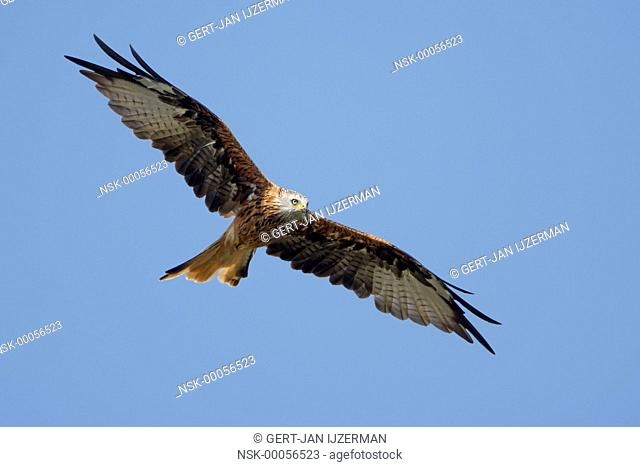 Red Kite (Milvus milvus) in flight looking for a prey, Germany, Hessen, Sauerland