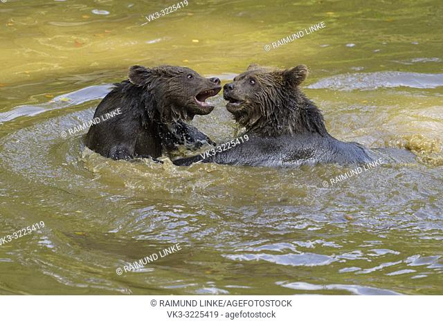 Brown bear, Ursus arctos, two cub playing in pond, Germany