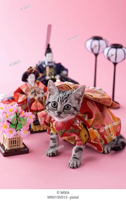 American Shorthair Kitten and Hinamatsuri Doll