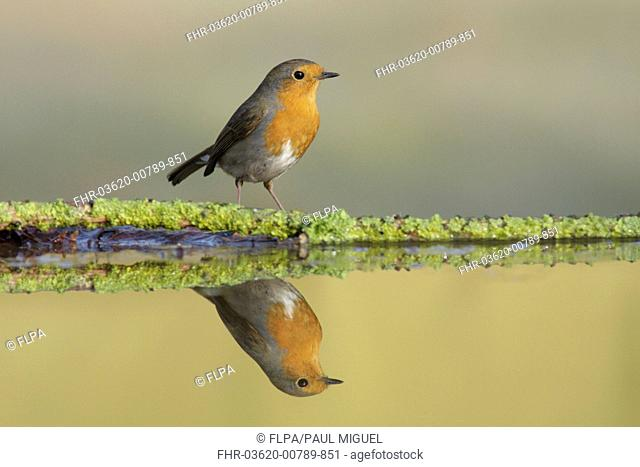 European Robin (Erithacus rubecula) adult, standing at edge of pool, with reflection, West Yorkshire, England, April