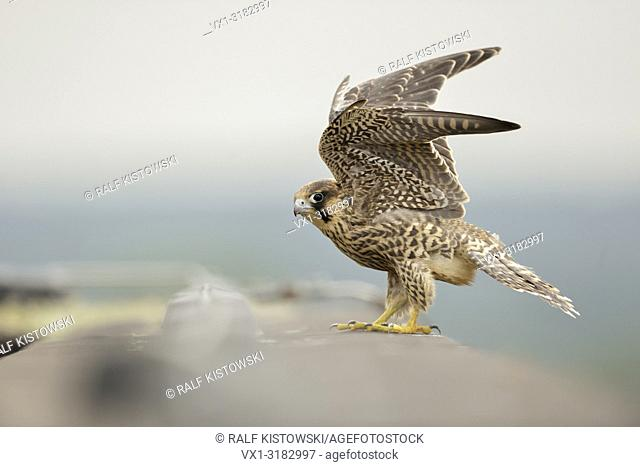 Eurasian Duck Hawk ( Falco peregrinus ), young bird of prey at the edge of a roof on top of a building, beating its wings