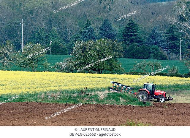 Plantation, Champs de Colza (Brassica napus), Boissy sous Saint Yon, Essonne, Ile de France, France