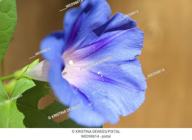 A light blue Morning Glory