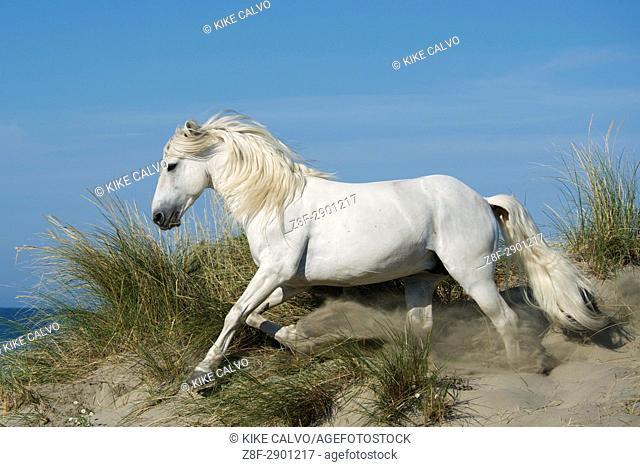 White camargue horse running on sand dunes