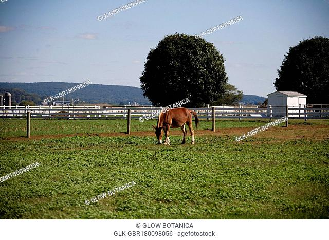 Horse grazing in a field, Amish Farm, Lancaster, Pennsylvania, USA