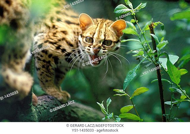 LEOPARD CAT prionailurus bengalensis, ADULT SNARLING