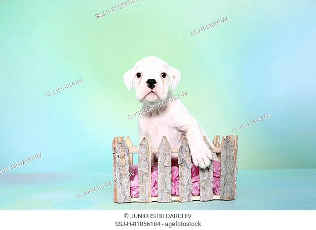 German Boxer. Puppy (6 weeks old) in a fence-shaped box. Studio picture seen against a turquoise background