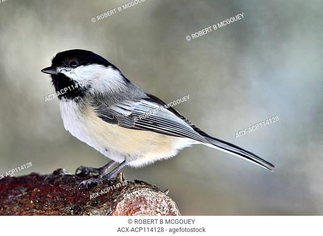 A side view portrait of a wild Black-capped chickadee bird Parus gambeli, perched on a log