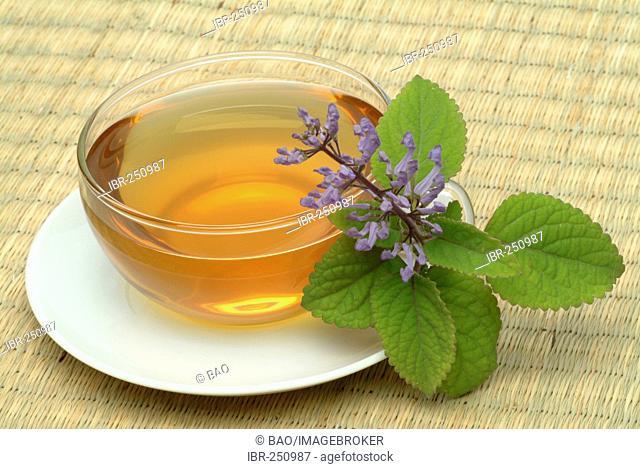 Tea made of Zulu cockspur flower, herbtea, Plectranthus zuluensis