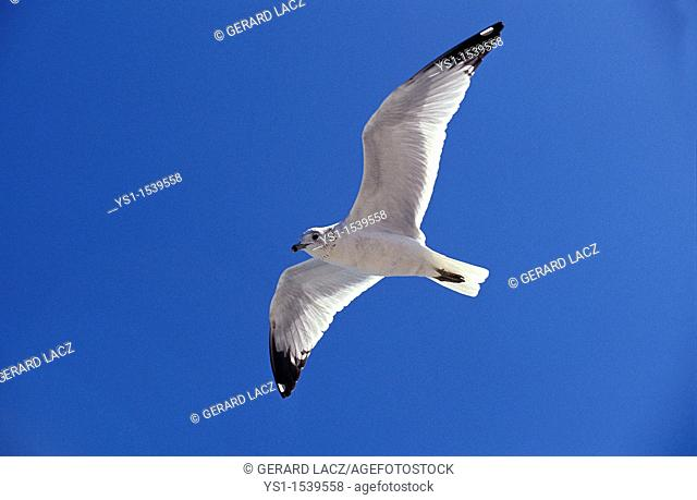 Ring Billed Gull, larus delawarensis, Adult in Flight against Blue Sky, Florida