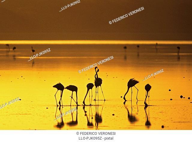 Lesser Flamingo Phoenicopterus minor skirmishe at dawn, Lake Ndutu, Serengeti National Park, Tanzania