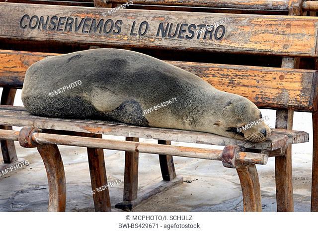 Galapagos sea lion (Zalophus californianus wollebaeki, Zalophus wollebaeki), lying on a bench in Puerto Baquerizo Moreno, Ecuador, Galapagos Islands